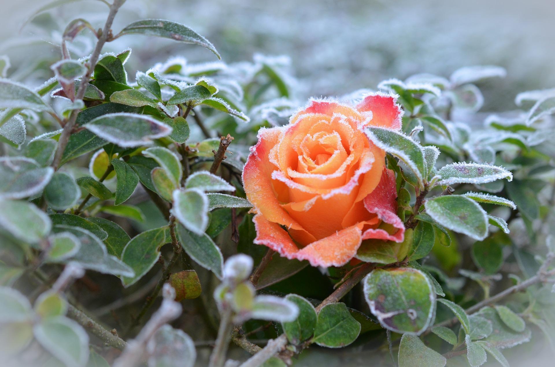 oszroniona-roza